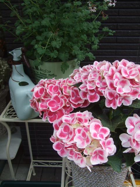 オークリーフ(おすすめの花鉢アジサイ)_f0049672_1784619.jpg