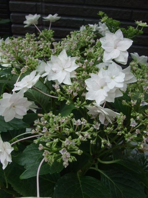 オークリーフ(おすすめの花鉢アジサイ)_f0049672_1787100.jpg
