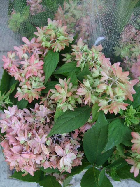 オークリーフ(おすすめの花鉢アジサイ)_f0049672_179070.jpg