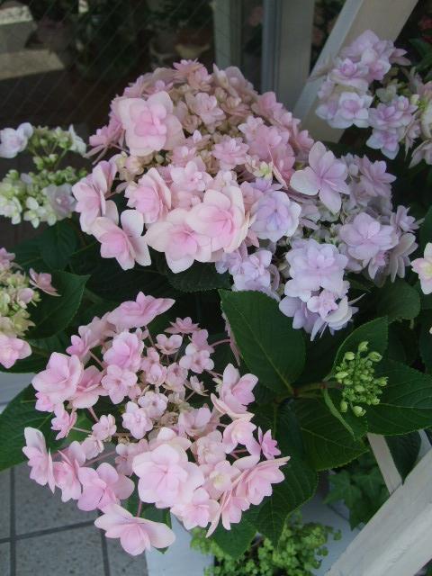 オークリーフ(おすすめの花鉢アジサイ)_f0049672_1791578.jpg