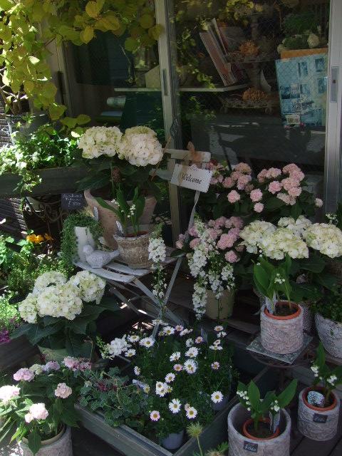オークリーフ(おすすめの花鉢アジサイ)_f0049672_1793335.jpg