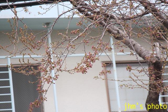 五稜郭の桜の蕾と「にっぽん丸」_a0158797_2317558.jpg