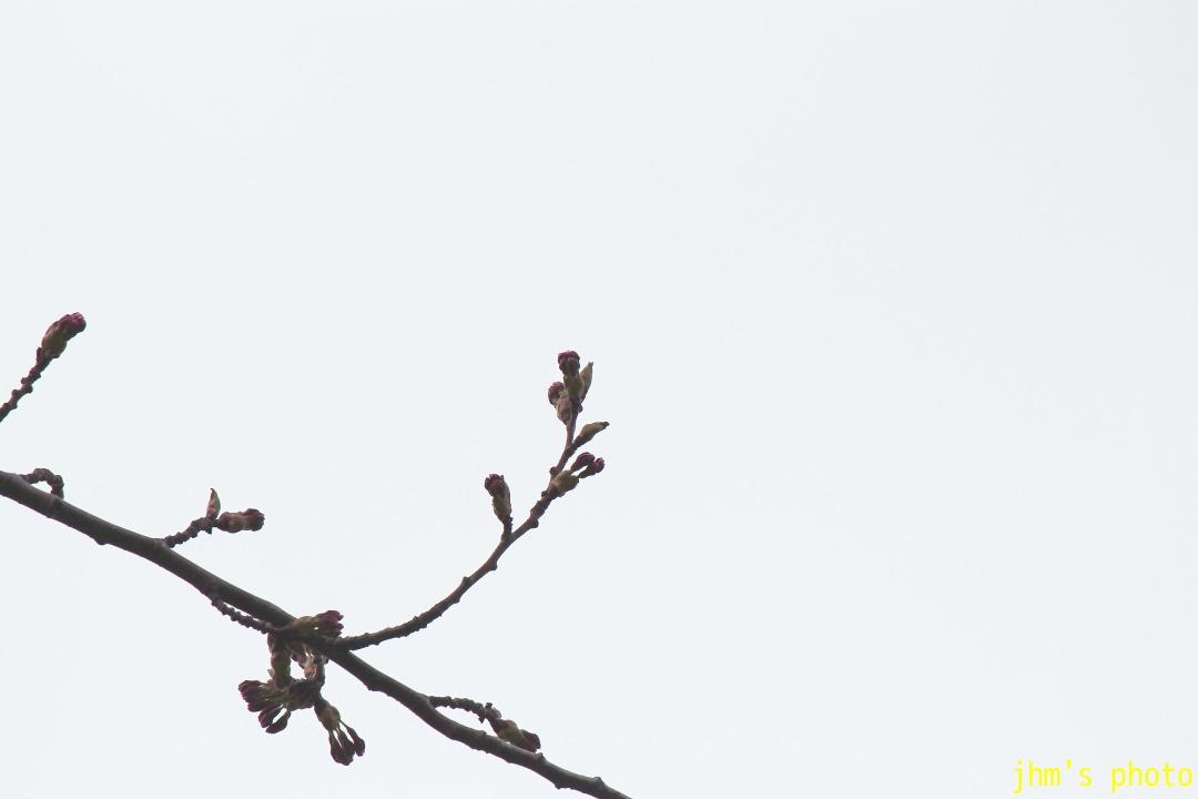 五稜郭の桜の蕾と「にっぽん丸」_a0158797_23254822.jpg