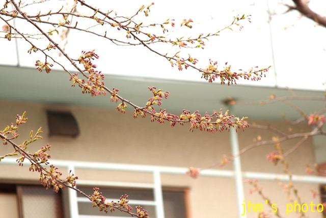 五稜郭の桜の蕾と「にっぽん丸」_a0158797_23261411.jpg
