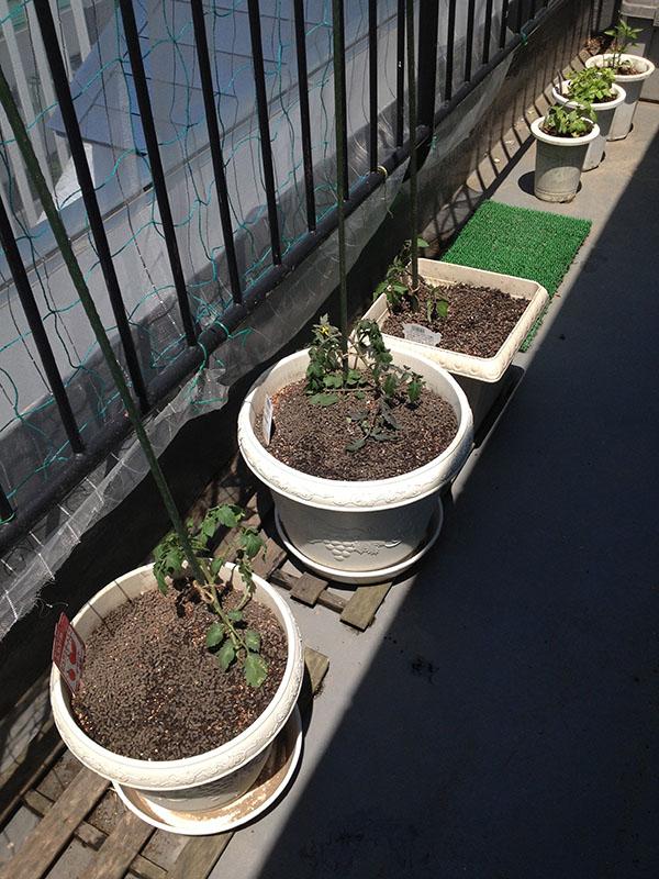 今年もミニトマト栽培開始!_a0145206_17293211.jpg