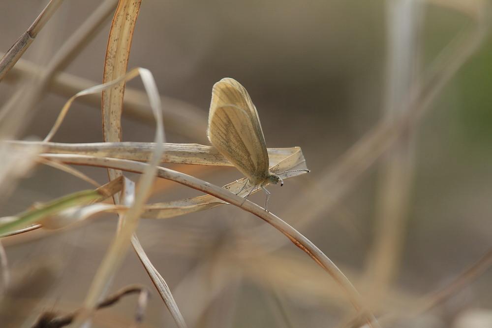 ヒメシロチョウ いつも春型♂雄の紹介で。  2013.4.29長野県③_a0146869_2018283.jpg