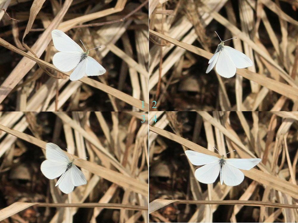 ヒメシロチョウ いつも春型♂雄の紹介で。  2013.4.29長野県③_a0146869_2022197.jpg