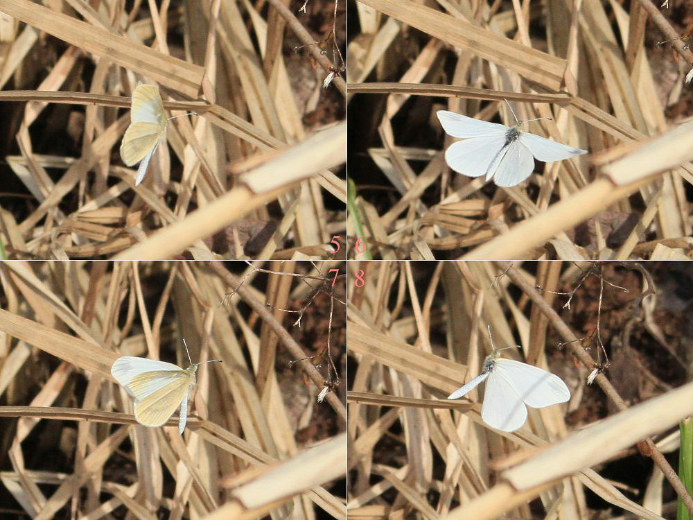 ヒメシロチョウ いつも春型♂雄の紹介で。  2013.4.29長野県③_a0146869_20222559.jpg