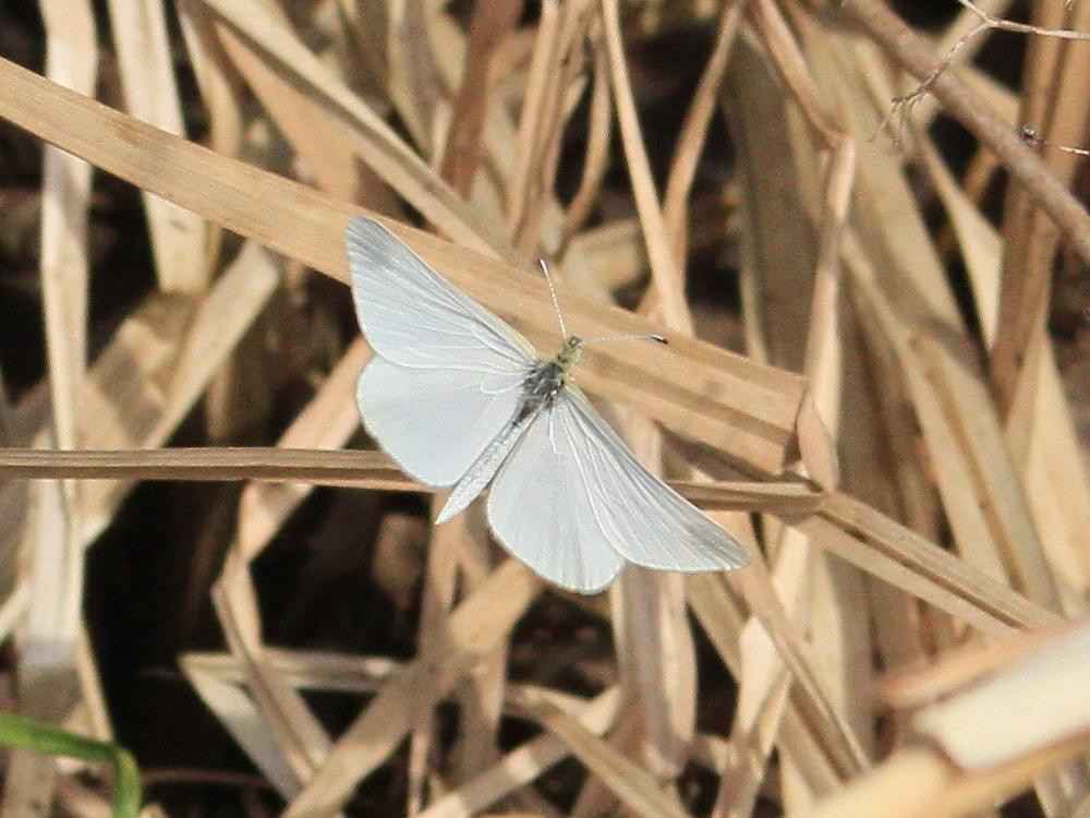 ヒメシロチョウ いつも春型♂雄の紹介で。  2013.4.29長野県③_a0146869_20253231.jpg