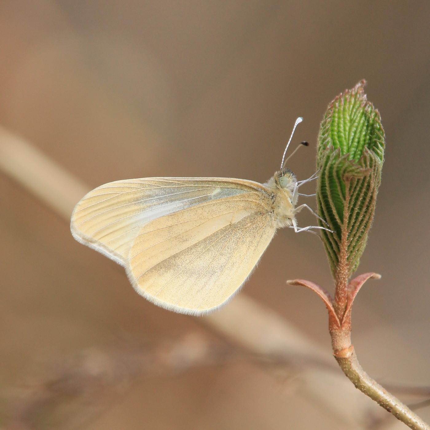 ヒメシロチョウ いつも春型♂雄の紹介で。  2013.4.29長野県③_a0146869_20265831.jpg