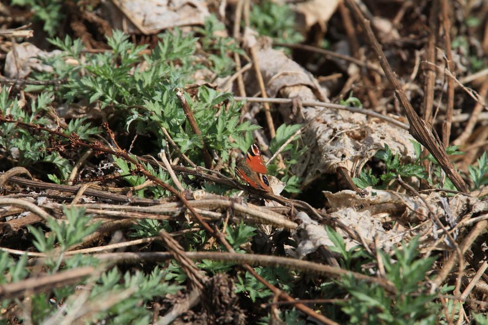 ヒメシロチョウ いつも春型♂雄の紹介で。  2013.4.29長野県③_a0146869_20291633.jpg