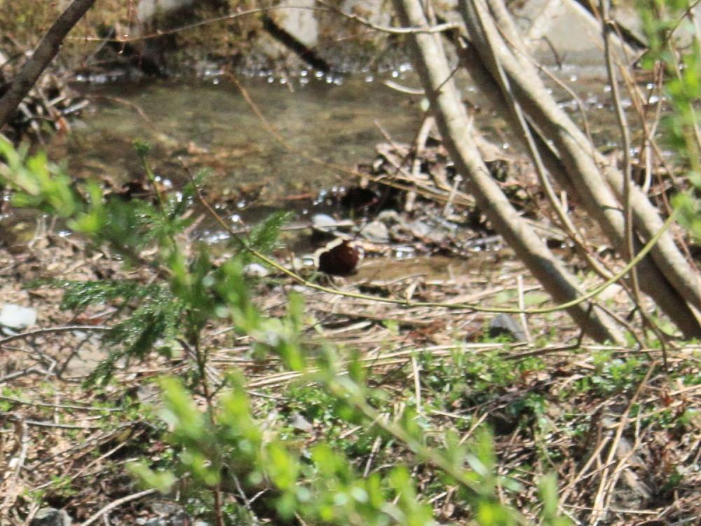 ヒメシロチョウ いつも春型♂雄の紹介で。  2013.4.29長野県③_a0146869_2029949.jpg