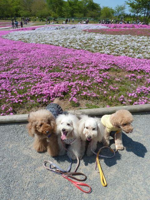 2013.5.5  芝桜_a0083571_205544.jpg