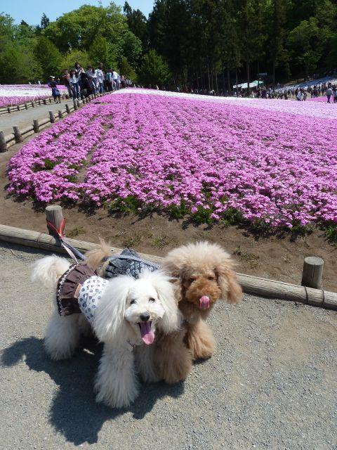 2013.5.5  芝桜_a0083571_207855.jpg