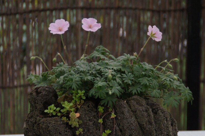 春の山草ピンクの可愛らしい花☆神代植物公園_a0122932_2353289.jpg