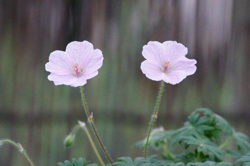春の山草ピンクの可愛らしい花☆神代植物公園_a0122932_236379.jpg