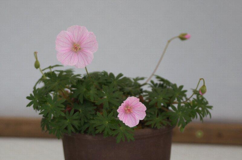 春の山草ピンクの可愛らしい花☆神代植物公園_a0122932_2371915.jpg