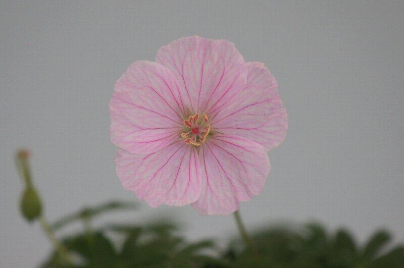 春の山草ピンクの可愛らしい花☆神代植物公園_a0122932_2375927.jpg