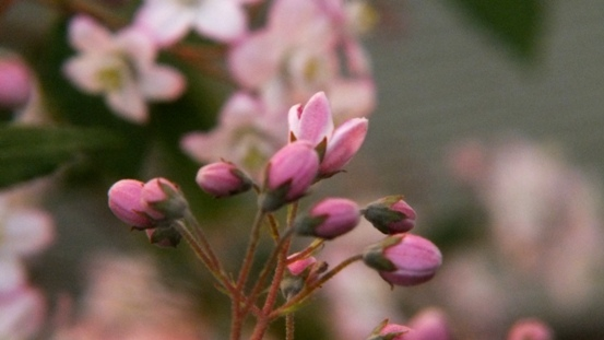 紅花ヒメウツギがきれいです_b0214473_21432129.jpg