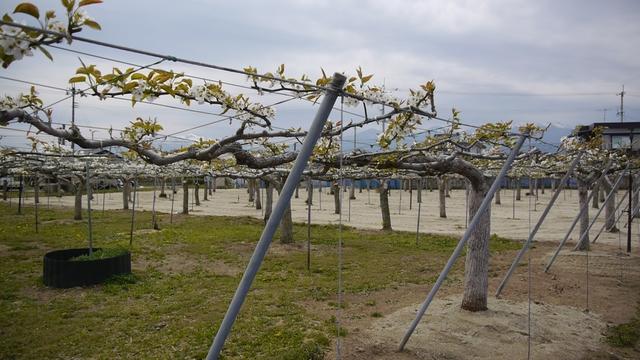 【写真】除染モデル事業 福島市・阿部農園の梨畑2013/4/29_e0149596_18411455.jpg