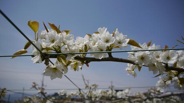 【写真】除染モデル事業 福島市・阿部農園の梨畑2013/4/29_e0149596_1852183.jpg