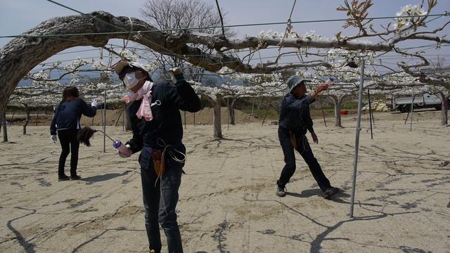 【写真】除染モデル事業 福島市・阿部農園の梨畑2013/4/29_e0149596_18544593.jpg
