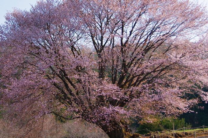 5月5日の天王桜_e0292469_1731316.jpg