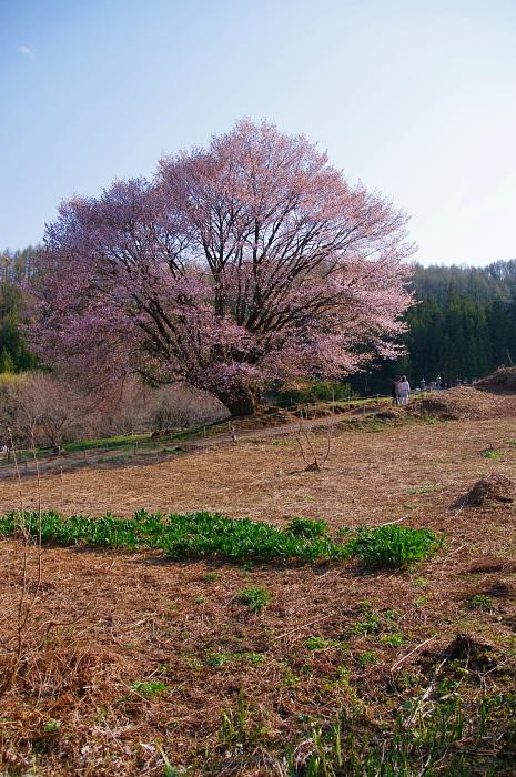 5月5日の天王桜_e0292469_1732231.jpg