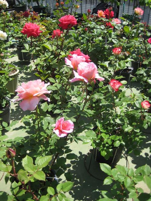 今年もバラが咲きました♪_f0206271_1710443.jpg