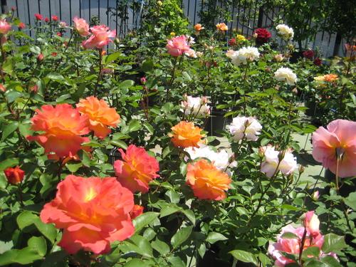 今年もバラが咲きました♪_f0206271_1785912.jpg