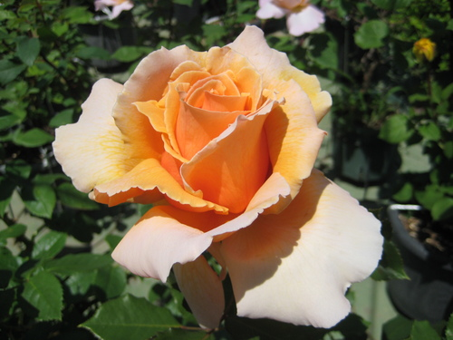 今年もバラが咲きました♪_f0206271_1791726.jpg