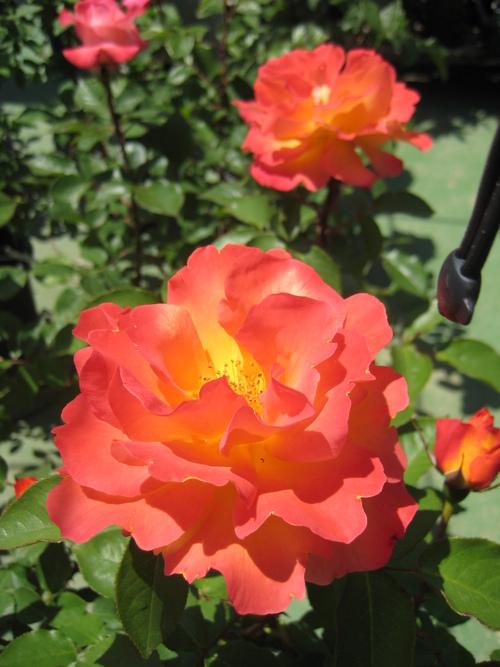今年もバラが咲きました♪_f0206271_1793732.jpg