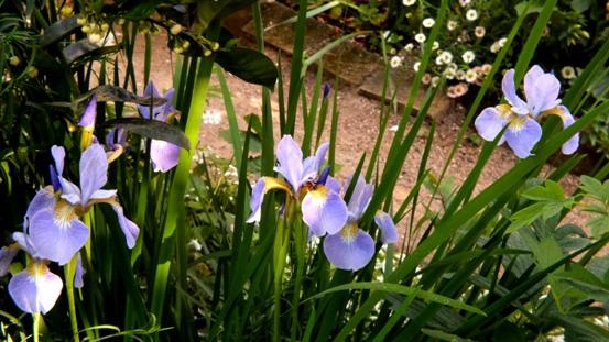 青紫のシラン_b0214473_10553840.jpg