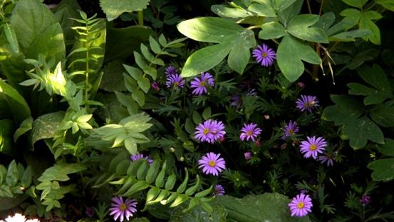 青紫のシラン_b0214473_1115545.jpg