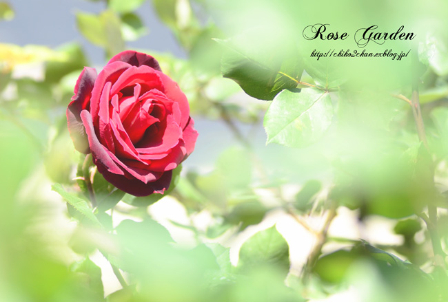 Rose Photo 2013 春~① 八幡山の洋館_e0221779_17285036.jpg