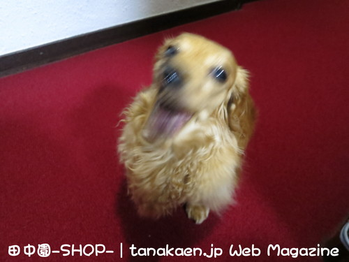 斑入り ソヨゴ 入荷!2mを超える商品は日本で1本だけ( たぶん?)_b0200291_23115994.jpg
