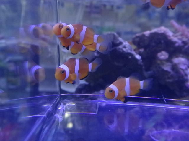 130508 海水魚・水草・金魚_f0189122_1221451.jpg