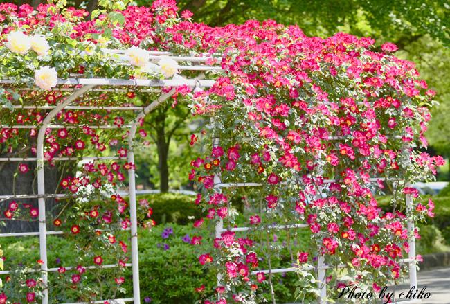 Rose Photo 2013 春~② 総合公園_e0221779_19314553.jpg