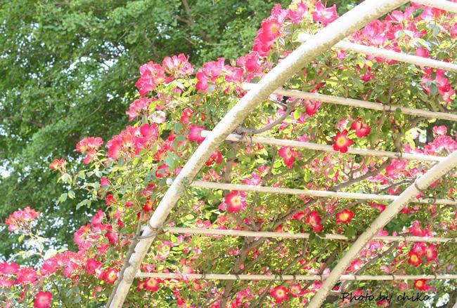Rose Photo 2013 春~② 総合公園_e0221779_19315973.jpg