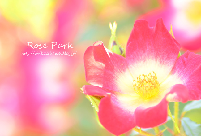 Rose Photo 2013 春~② 総合公園_e0221779_19322114.jpg