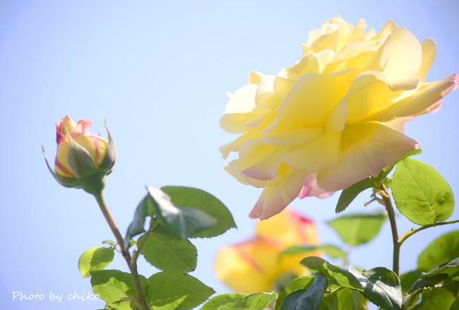 Rose Photo 2013 春~② 総合公園_e0221779_19325676.jpg