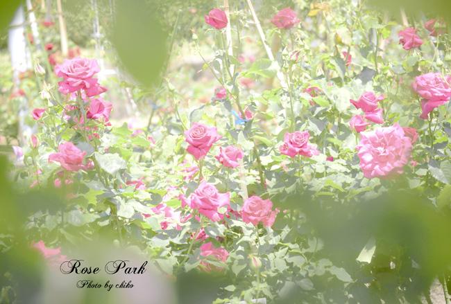 Rose Photo 2013 春~② 総合公園_e0221779_19332965.jpg