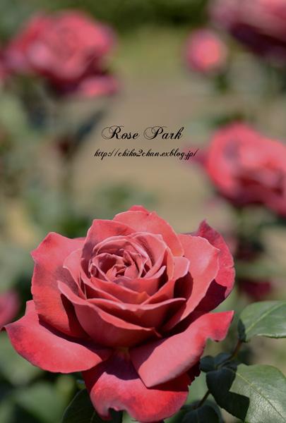 Rose Photo 2013 春~② 総合公園_e0221779_19335711.jpg