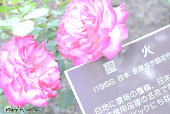 Rose Photo 2013 春~② 総合公園_e0221779_19465470.jpg