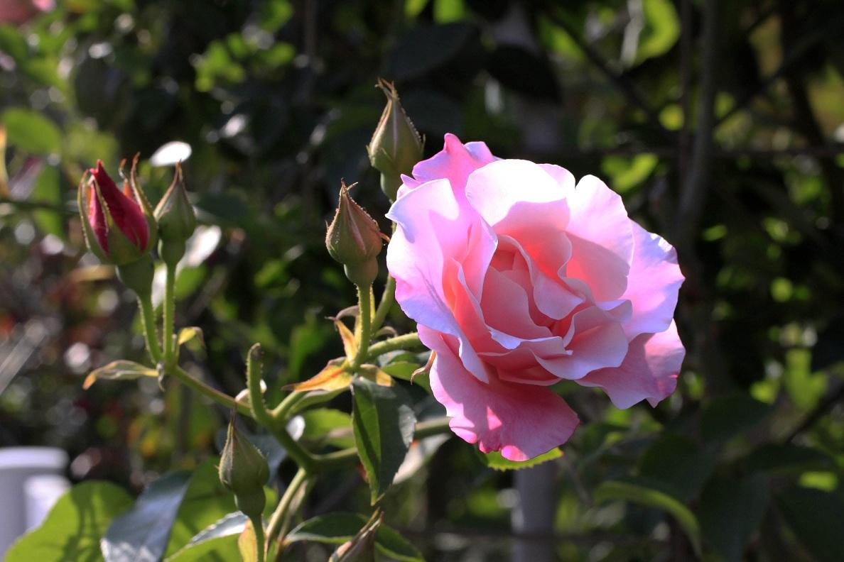今日の薔薇たち_a0107574_16394879.jpg