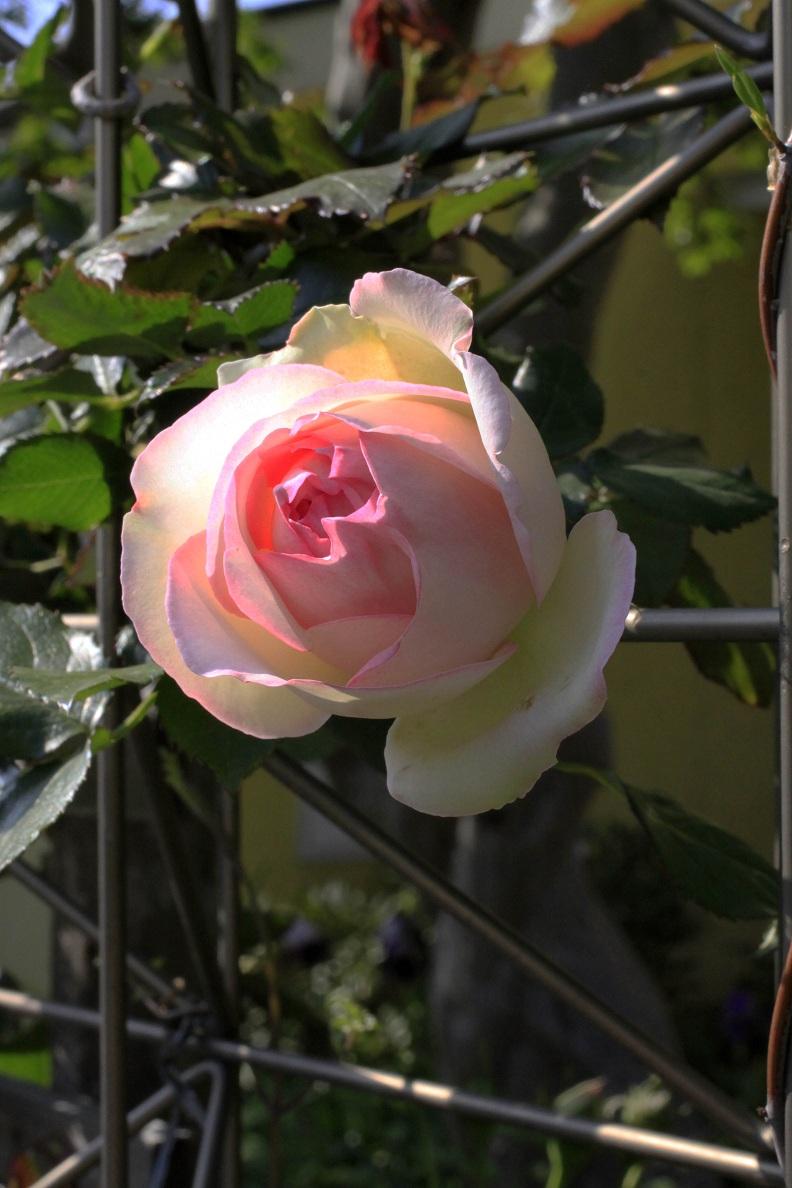 今日の薔薇たち_a0107574_16395674.jpg