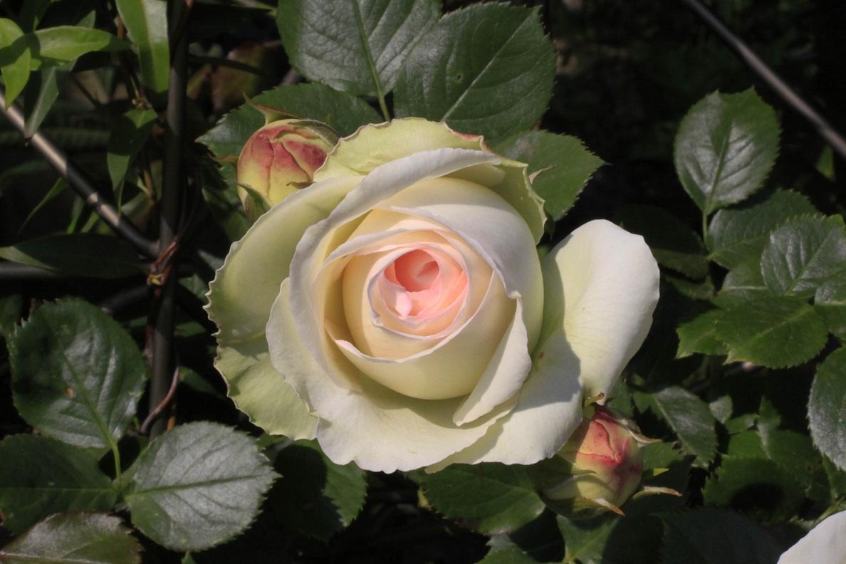 今日の薔薇たち_a0107574_1640627.jpg