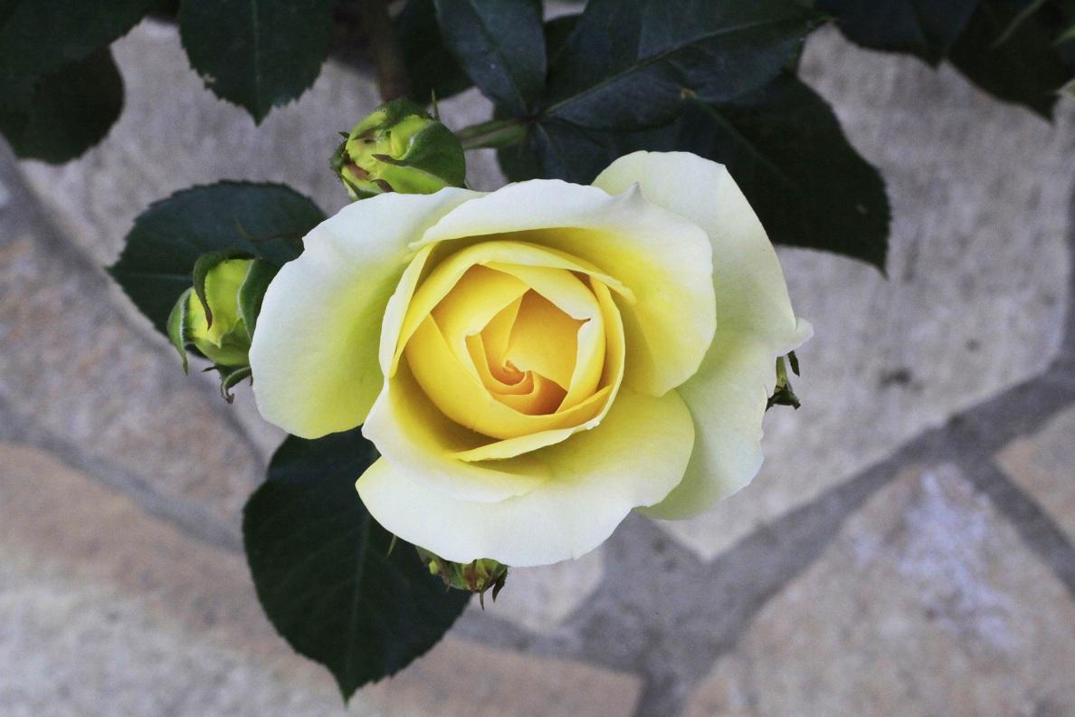 今日の薔薇たち_a0107574_16485981.jpg