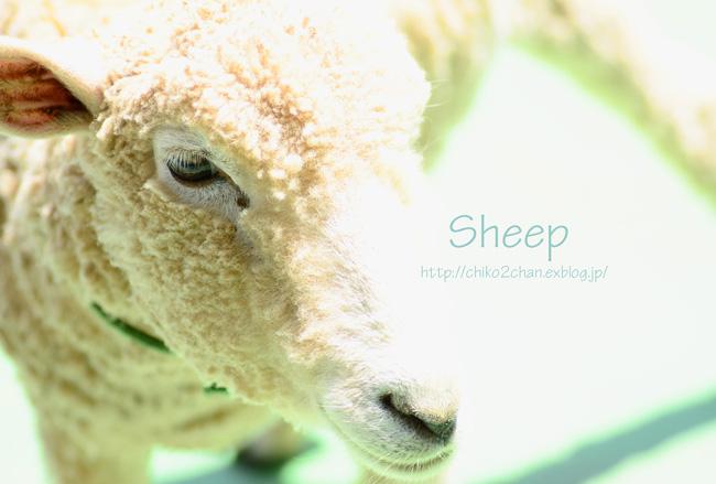 *もふもふ*Sheep*_e0221779_14242860.jpg