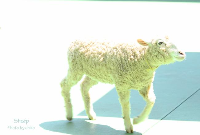 *もふもふ*Sheep*_e0221779_14255631.jpg
